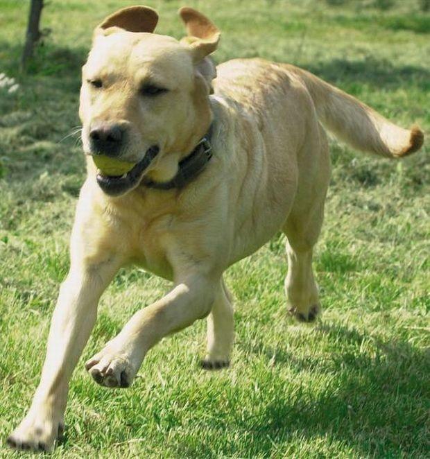 Labrador - zdjęcie ilustracyjne