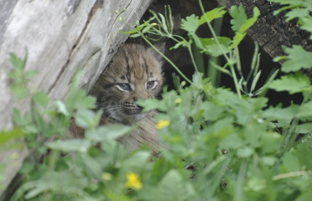 Młody ryś urodził się 28 maja w toruńskim zoo