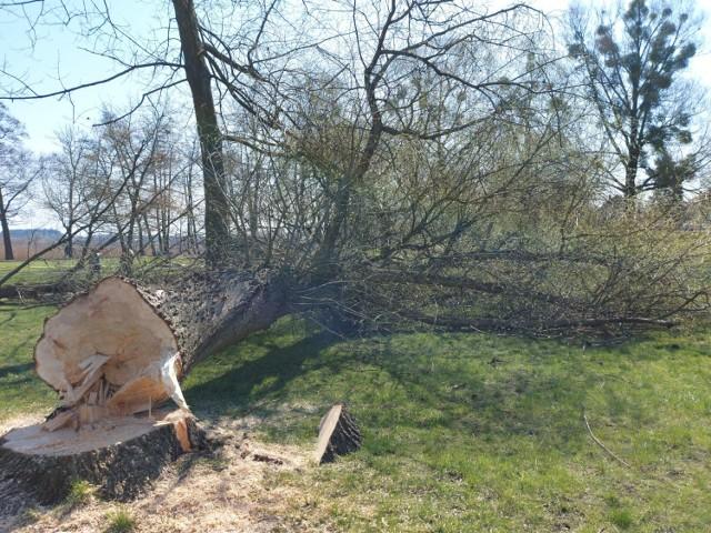 Trwa wycinka drzew nad Jeziorem Miejskim w Międzychodzie. W zamian ma powstać nowy plac zabaw dla dzieci (20.04.2021).
