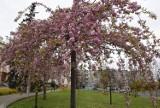Wiosna na ulicach Pruszcza Gdańskiego. Kwitną kwiaty i drzewa. Zobaczcie zdjęcia!