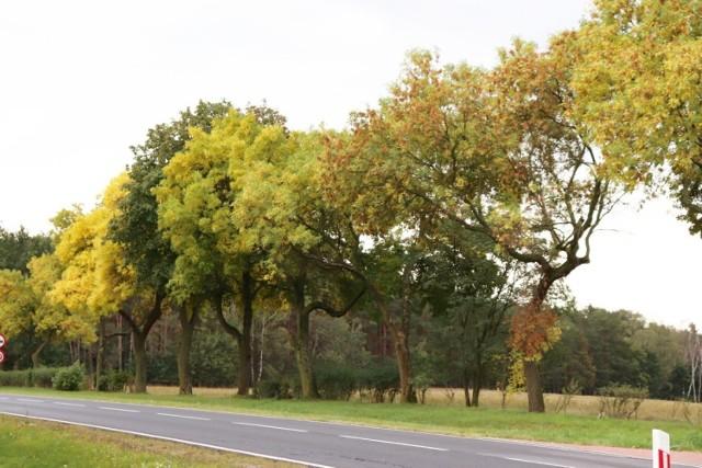 Jesień w Krośnie Odrzańskim i w okolicy. Wygląda pięknie!