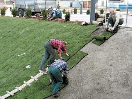 Trawnikowy dywan powinien się szybko ukorzenić.