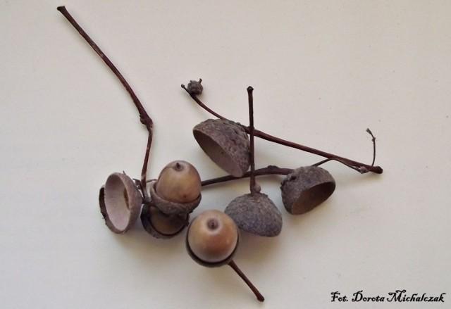Na jesiennym spacerze zbieramy żołędzie. Po oddzieleniu owoców od miseczek zrobimy z nich jesienną ozdobę - broszkę.