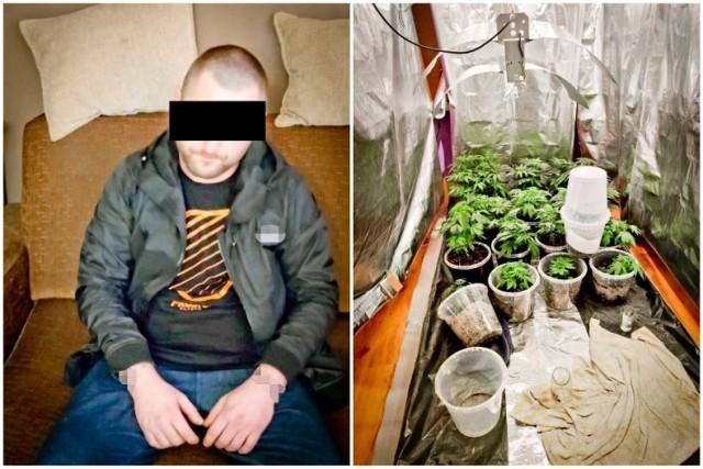 31-latka poszukiwano za przestępstwa narkotykowe. Wpadł na Okolu ze swoją plantacją