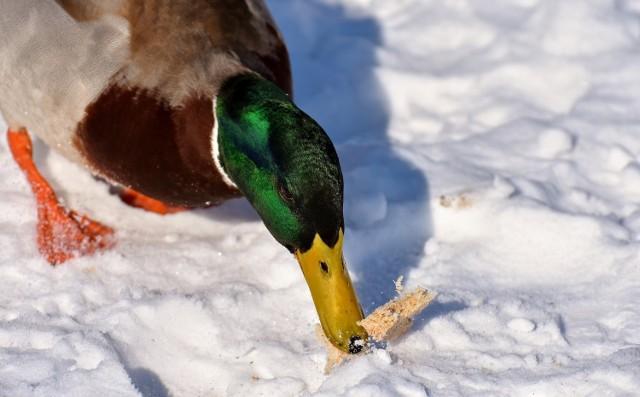 Gdy spadnie śnieg i chwyci mróz, wiele osób zaczyna troszczyć się o ptaki. Pomagać trzeba jednak z głową. W żadnym przypadku nie należy naszych skrzydlatych przyjaciół dokarmiać chlebem. To może się skończyć dla nich tragicznie.    Czytaj także: Inwazja obcych małży w Odrze. To one przejmują kontrolę nad dnem rzeki