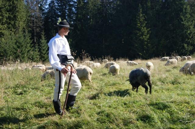Na tatrzańskich halach co roku sześciu baców wypasa ok. 1500 owiec