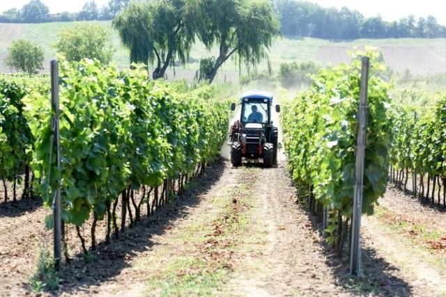 """Winnice  W Lubuskiem jest sporo prywatnych winnic. Z roku na rok dostarczają one coraz lepszych trunków. W winnicy """"Miłosz"""" w Łazie, gdzie można liczyć na poczęstunek i opowieści winiarskie."""