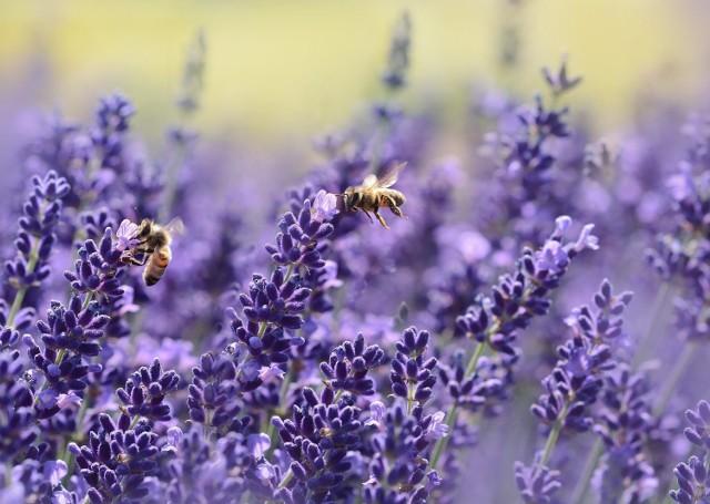 O ile pszczoły i trzmiele nie są groźne dla człowieka, o tyle szerszenie i osy mogą narobić wiele szkód. Ukąszenie szerszenia jest nie tylko bardzo bolesne. Może doprowadzić wręcz do śmierci, jeśli użądlona zostanie osoba uczulona na jad szerszenia. Właśnie z tego powodu tak ważne jest rozróżnianie owadów.