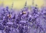 Osa, szerszeń, trzmiel czy pszczoła – jak wyglądają? Zobacz jak je odróżnić. Ta wiedza może Ci się przydać przy ukąszeniu