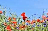 Miasto daje nasiona na zakładanie łąk kwietnych. Gdzie pojawią się nowe kwietne łany w Lublinie?