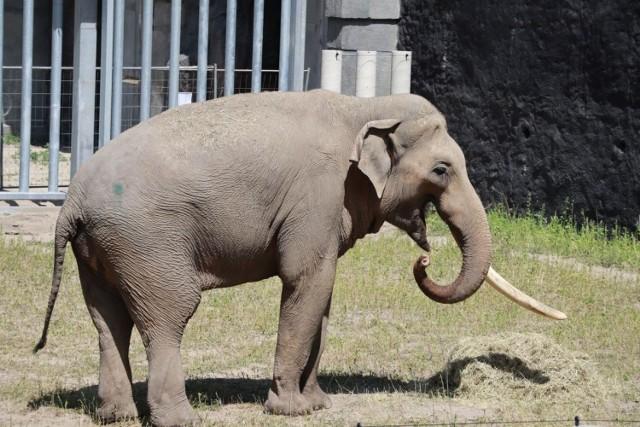 Łódzkie Orientarium pochwaliło się pierwszym czworonożnym lokatorem powstających tu pawilonów wystawowych. To słoń Aleksander, pierwszy z trzech słoni indyjskich, jakie mają stać się główną atrakcją Orientarium. Ich lokum jest już gotowe. Składa się w pomieszczenia, w którym słonie będą spały, wybiegu wewnętrznego z basenem oraz wybiegu zewnętrznego również z rozległym i głębokim akwenem.  CZYTAJ DALEJ >>>  .