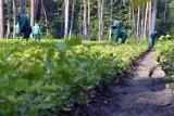 Więźniowie będą pracować w lasach. Służba Więzienna i Lasy Państwowe podpisały porozumienie