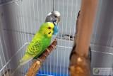 Lublin. Dwie papużki zostały porzucone. Znaleziono je w klatce na śmietniku. Trwają poszukiwania właściciela