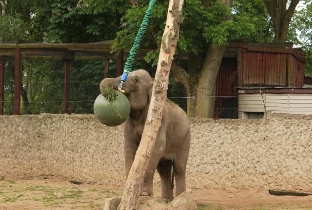 Nowe zabawki słoni z płockiego zoo