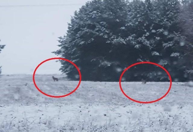 Wilki koło Przydroża między Głogowem a Sławą - początek lutego tego roku