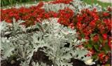 Rośliny o srebrnych liściach. Polecamy 15 gatunków, które warto mieć w ogrodzie (i na balkonie)