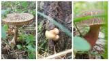 Mnóstwo grzybów w lasach w Dobrej pod Szczecinem. Zobaczcie okazy!