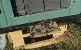 W gminie Borne Sulinowo zginęły miliony pszczół. Prokuratura swoje, pszczelarz swoje