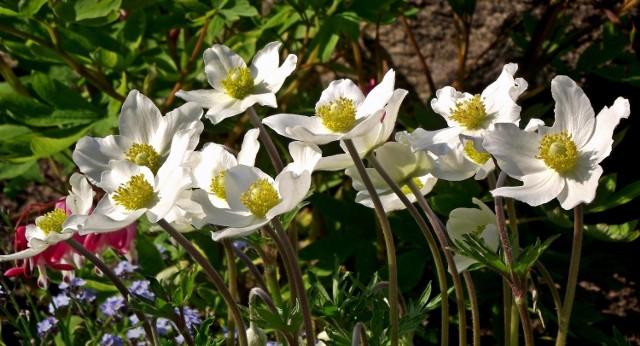 Zawilce mają sporo gatunków i jeszcze więcej odmian. Możemy dobrać je tak, że będą kwitły od wczesnej wiosny do późnej jesieni.