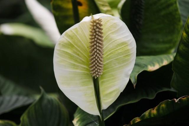 Skrzydłokwiaty nie mają dużych wymagań, ale żeby kwitły, trzeba zwrócić uwagę na kilka rzeczy.