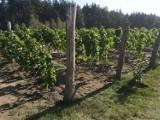 Pierwsze winobranie w okolicach Szczecinka [zdjęcia]