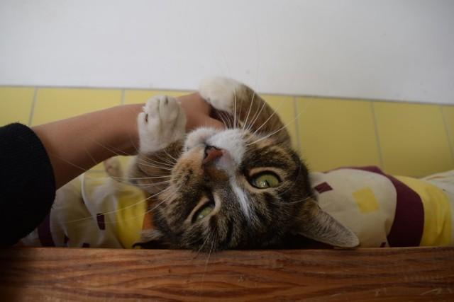 Zenek Nr ewidencyjny: 197/18 W schronisku od: 05.04.2018  Zenekto 8-letni kocurek, który trafił wraz z trzema kotami z jednego domu. Ich właścicielka zmarła.  Zenek to uroczy kocurek bardzo dużych rozmiarów. Jest przesympatyczny - uwielbia kontakt z człowiekiem, od razu mruczy i przewraca się na plecy. Zenek jest nauczony życia w mieszkaniu.