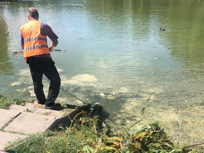 Woda w stawie w parku miejskim często jest brudna, pływają...
