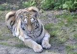ZOO w Łodzi.  Padła 13-letnia tygrysica Wala. Zginęła wskutek ran po walce z innymi tygrysami