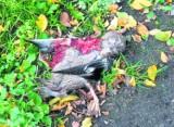 Uwaga! Kaczki na drodze, czyli ptasi problem na Piastowskiej