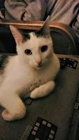 Zaginął kot Edek! Właściciele proszą o kontakt każdego, kto ma jakiekolwiek informacje o zwierzaku