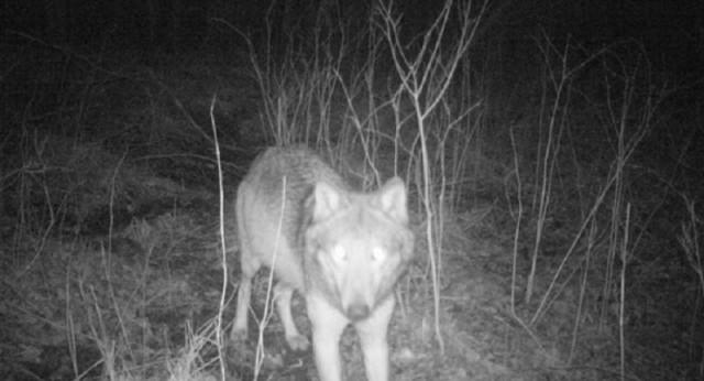 W lasach powiatu wałbrzyskiego mieszkają wilki. Są na to dowody (filmik z foto-pułapki). W Polsce jest och około 2000.