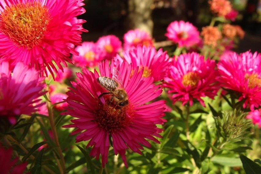 Te kwiaty zwane potocznie marcinkami lub michałkami są...