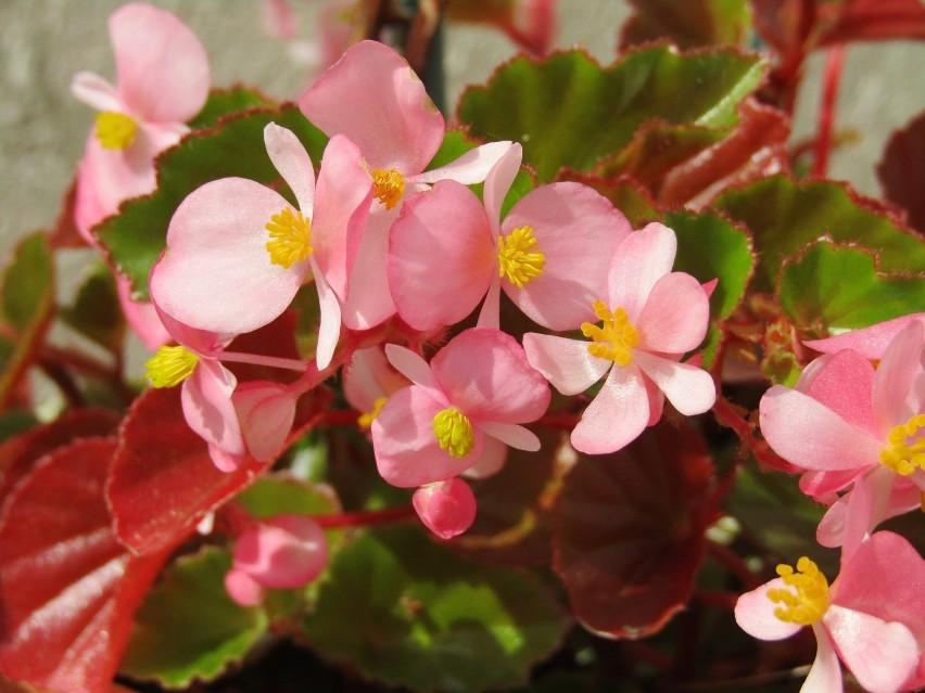 To jednoroczne rośliny, które warto sadzić nie tylko wtedy,...