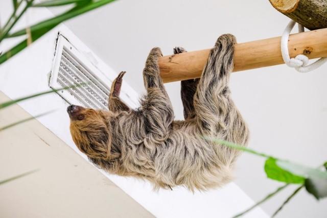 Leniwiec, bądź też leniuchowiec dwupalczasty przyjechał do Torunia 19 czerwca z zoo w Niemczech