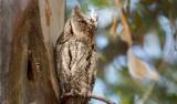 Gliwice: Ptak syczek zamieszkał na osiedlu Sikornik. Sensacja ornitologiczna w naszym mieście! To mała sowa, która zawitała na Śląsk
