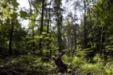 MON chce wyciąć 264 drzewa w Lesie Kabackim. Aktywiści protestują