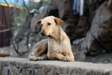 Gospodarze w gminie Lipnica nie pilnują swoich psów, które wałęsają się po wsiach