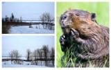 Żnin. - Widzieliśmy bobry nad Dużym Jeziorem - mówią mieszkańcy. - Ale i dywan śmieci, które tylko na chwilę przykrył śnieg! [zdjęcia]