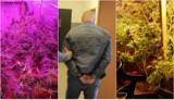 38-letni mieszkaniec Bydgoszczy aresztowany za narkotyki. Przy domu w Bydgoszczy miał plantację i prawie 100 krzewów konopi [zdjęcia,wideo]