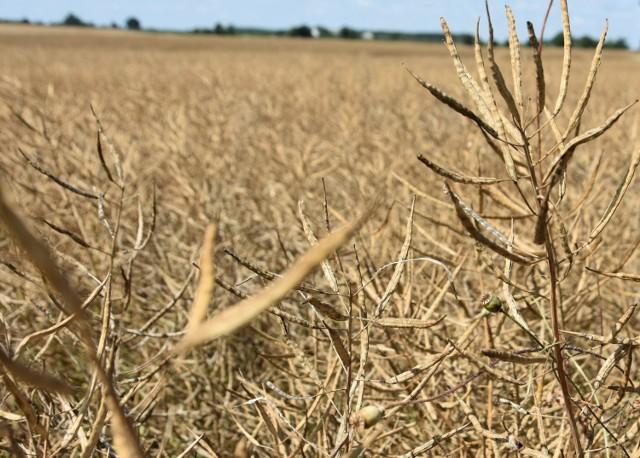 Zdesperowany rolnik, który zaczął młócić rzepak w Unisławiu, może mieć spore kłopoty