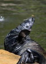 Plażowicze płoszą foki, rzucają w nie kamieniami albo podchodzą i nagrywają z nimi filmy. Fokarium apeluje: To nadal dzikie zwierzęta