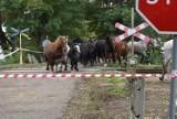 Zalane łąki między Krosnem Odrzańskim a Połupinem. Konie zostały uwięzione na wysepce. Po akcji strażaków zostały sprowadzone na ląd