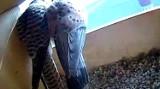 Chełm. Na żywo można podglądać  sokole rodziny w  dwóch gniazdach umieszczonych na kominie chełmskiej cementowni