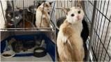 Gmina Radłów. Wychudzone, wygłodzone koty pozostawione bez opieki pod Tarnowem. Interweniowało Tarnowskie Towarzystwo Opieki nad Zwierzętami