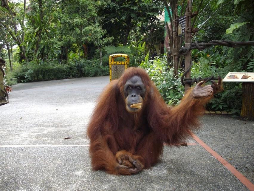 AH MENG, zoo w Singapurze(zm. 8 lutego 2008)Orangutanica...