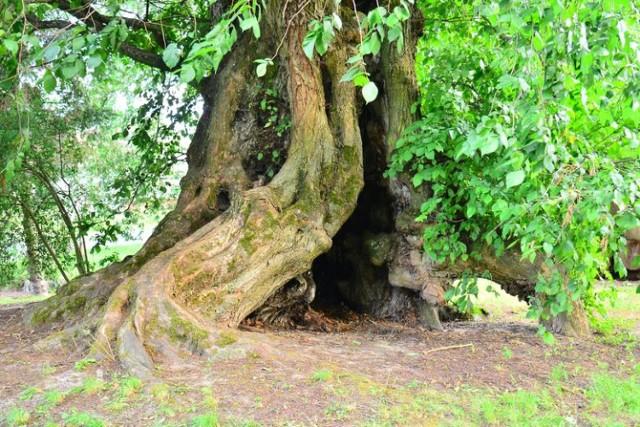Mistrz Krabat, wiąz szypułkowy w Węglinach w gminie Gubin został oficjalnie wpisany jako pomnik przyrody.
