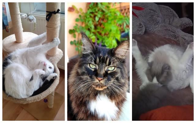 Zobacz galerię kotów z Zawiercia! Kliknij w kolejne zdjęcia