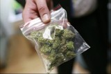 Plantacja marihuany pod Głogowem. Policjanci zabezpieczyli 15 kg nielegalnej rośliny