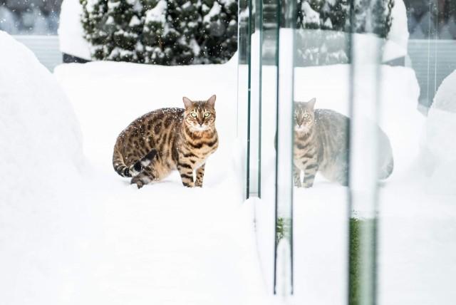 """Koty to zwierzęta diametralnie inne niż psy. Wiele osób zdecydowała się na nie dlatego, bo w ich opinii są one """"łatwiejsze w obsłudze"""". Nic bardziej mylnego! Wymagają równie dużo wkładu co ich czworonożni konkurenci. A co najważniejsze - dzisiaj obchodzą swoje święto! Z tej okazji poprosiliśmy naszych czytelników, aby podzielili się z nami zdjęciami swoich kociaków. Oto one!"""