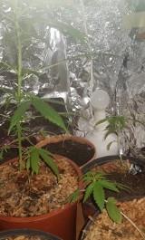 22-latek trzymał w pokoju rośliny konopi. Co mu za to grozi?